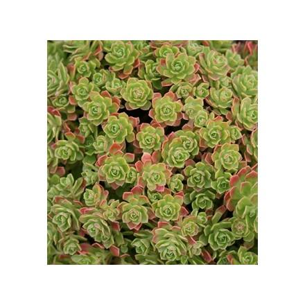 Aeonium spathulatum (rostlina: Aeonium spathulatum) semena
