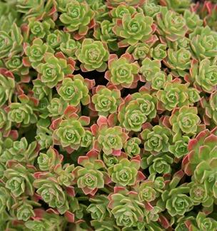 Aeonium spathulatum (rastlina: Aeonium spathulatum) semená