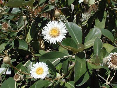 Cheesman (rostlina: Pachystegia insignis) 7 semen