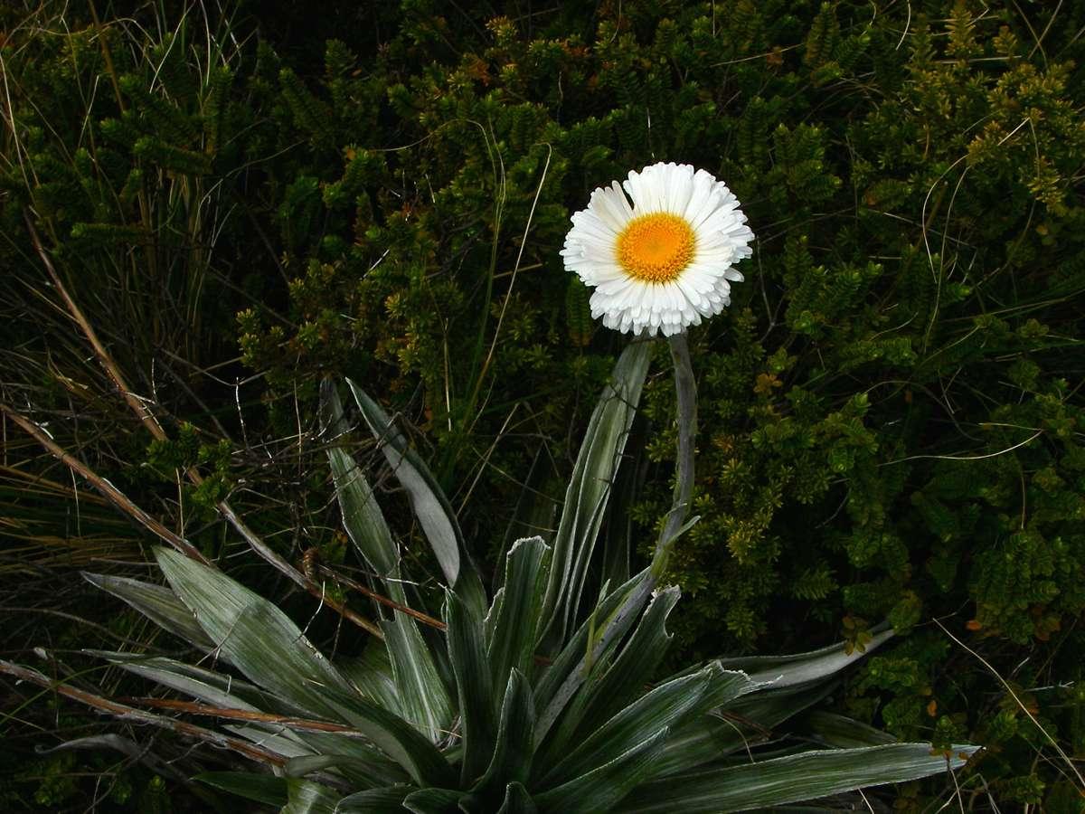 Mountain daisy (rastlina: Celmisia semicordata) 7 semien