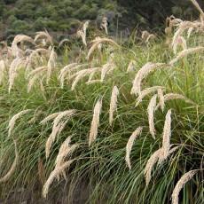 Okrasná tráva (rastlina: Chionochloa flavicans) 10 semien