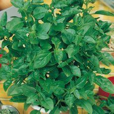 Bazalka citrónová