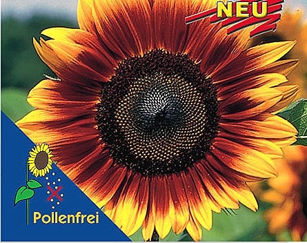 Slnečnica -Helianthus Pro Cut Bicolor