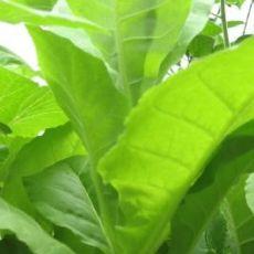 Tabak Kentucky (tabak: Nicotiana tabacum) - 25 semien