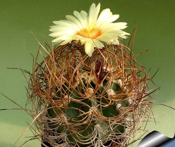 Kaktus Capricorn (rastlina: Astrophytum Capricorn) - 6 semien kaktusu