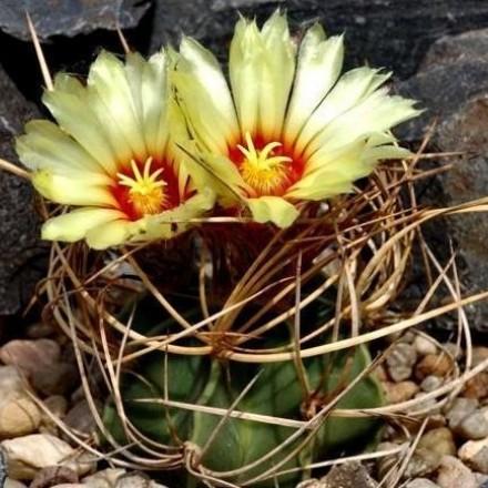 Kaktus Senile (rostlina: Astrophytum senile) – 6 semen kaktusu