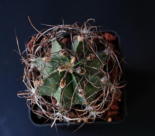 Kaktus šenil v Qurcum (rastlina: Astrophytum šenil v qurcum) - 6 semien