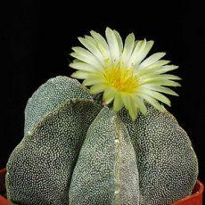 Kaktus Mix (kaktusy: Astrophytum) - 6 kaktusových semien