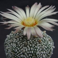 Kaktus Super Kabuto (rostlina: Astrophytum superkabuto) 6 semen kaktusu