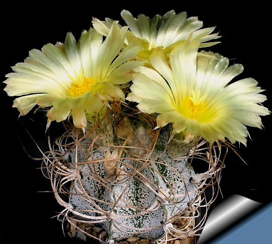 Kaktus Crassispinoides (rastlina: Astrophytum crassispinoides) - 6 semien