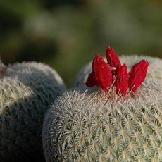 Kaktus Micromeris (rastlina: Epithelantha micromeris) - 3 semená