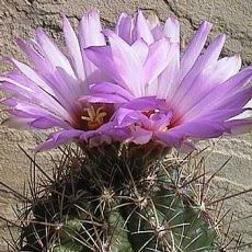 Kaktus Bicolor (rastlina: Thelocactus bicolor) - 6 semien kaktusu