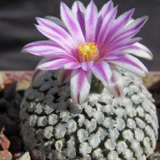 Kaktus valdeziana (rostlina: Pelecyphora valdeziana) 6 semen kaktusu