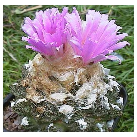 Kaktus Fissuratus (rostlina: Ariocarpus fissuratus) 6 semínek kaktusu