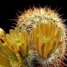 Kaktus cylindricus (Echinocereus chloranthus v cylindricus) 6 semen