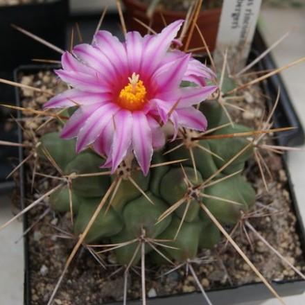 Kaktus Frendenbergi (Thelocactus rinconensis v freudenbergii) – 6 semen