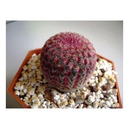Kaktus Rubrispinus (Echinocercus rigidissimus v rubrispinus) 6 semen kaktusu