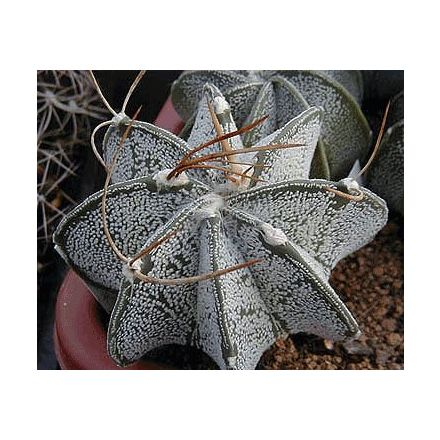 Kaktus Niveum (rostlina: Astrophytum niveum) - 6 semen kaktusu