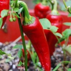 Chilli Italské Pepperoncini (rostlina: capsicum) – 7 semen chilli