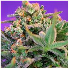 Sweet Cheese – feminized semena 10 ks Sweet Seeds