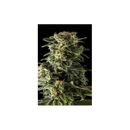 Haze 2 Automatic – autoflowering semienka 10 ks Dinafem