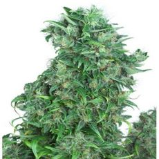 Think Different – autoflowering semínka 3 ks Dutch Passion