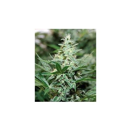 Red Dragon – feminizovaná semínka 5 ks Barney Farms