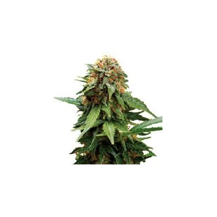 Tangerine Dream – feminizovaná semena 5 ks Barney Farms