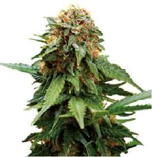 Tangerine Dream – feminizovaná semínka 5 ks Barney Farms
