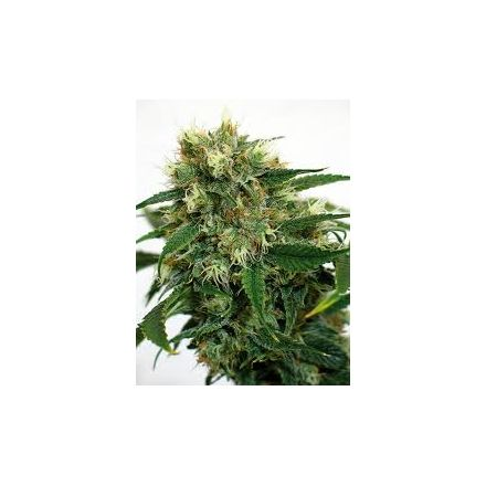 Phatt Fruity – feminized semena 10 ks Barney Farms