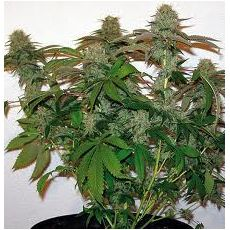 8 Ball Kush – feminizované semena 10 ks Barney´s Farms