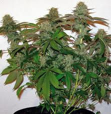 8 Ball Kush – feminizovaná semena 10 ks Barney´s Farms