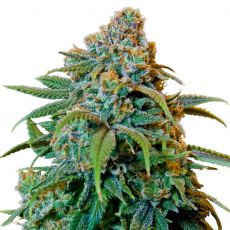 Liberty Haze – feminized semena 10 ks Barney´s Farms