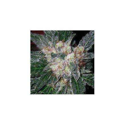 Violator Kush – regulérní semena 10 ks Barney Farms