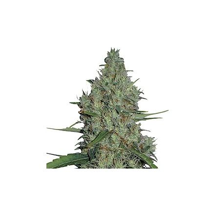 G-13 Haze – regulérní semena 10 ks Barney Farms