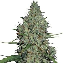 G-13 Haze – regulérní semena 10 ks Barney Farms