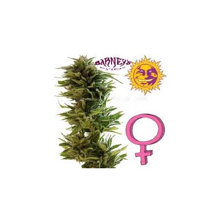 Little Cheese – 5 autoflower semen Barney´s Farms