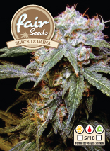 Black Domina – feminizované semienka 10 ks Fair Seeds