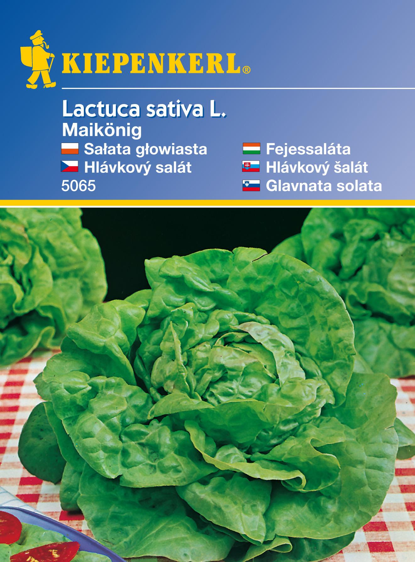 Hlávkový salát Maikönig – semena hlávkového salátu