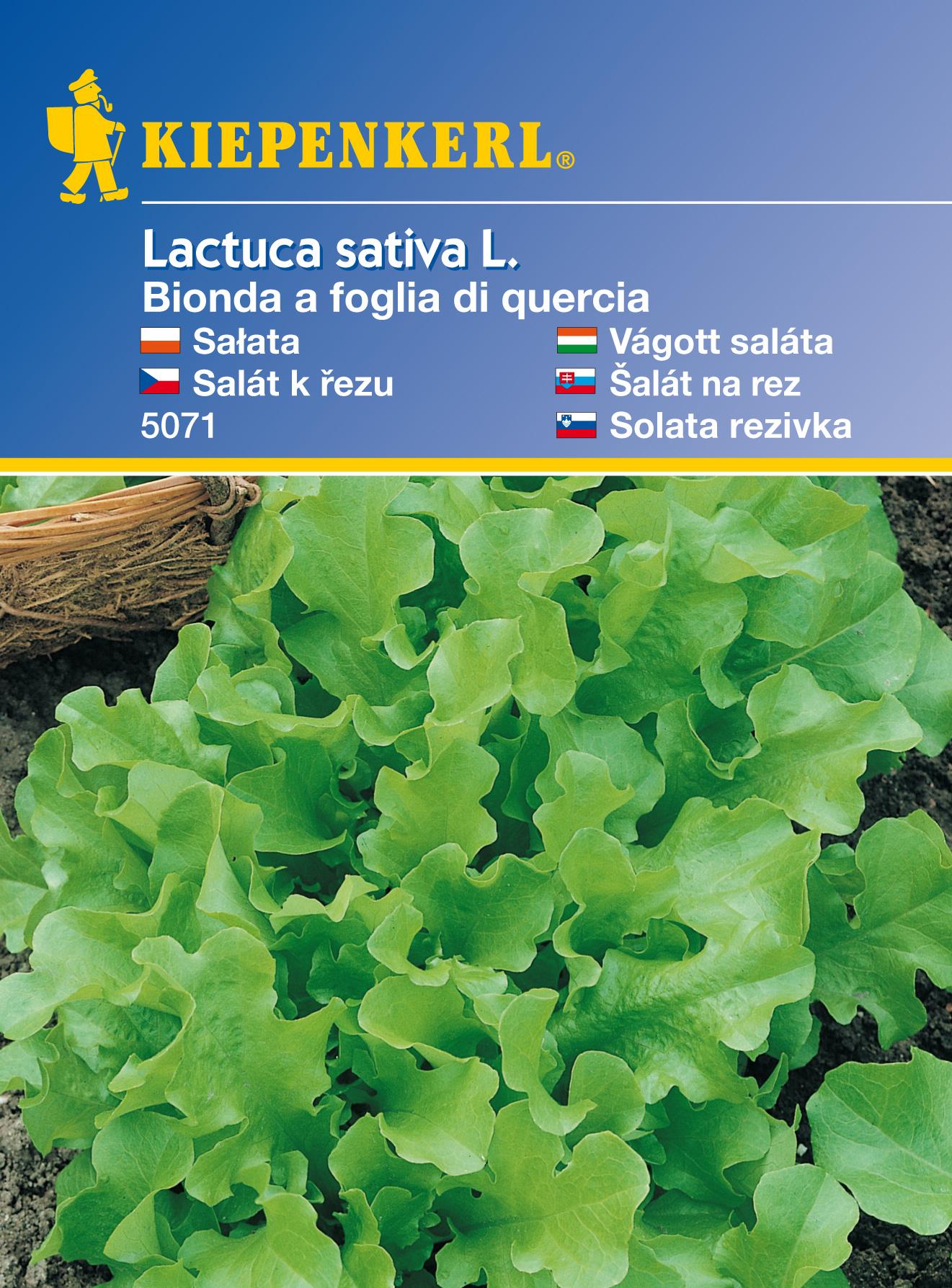 Salát k řezu Kraus. Žlutý – semena salátu