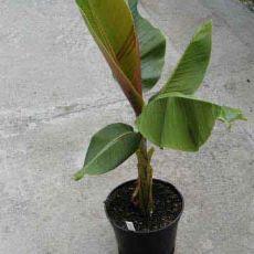Banánovník Sněhový (Musa sikkimensis) 5 semen