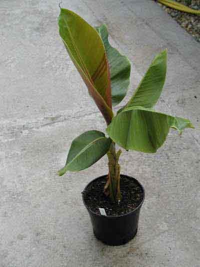 Banánovník snehový (Musa sikkimensis) - semená banánovníku 5 ks