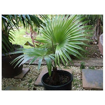 Palma Latisectus (rostlina: trachycarpus latisectus) – 5 semen palmy