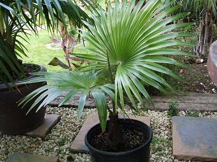 Palma Latisectus (rastlina: Trachycarpus latisectus) - 5 semien palmy