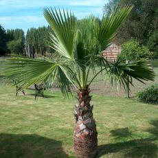 Washingtonie Mohutná (rostlina: washingtonia robusta) – 7 semen washingtonie