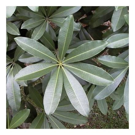 Pulai (rostlina: alstonia scholaris) – 10 semen pulai