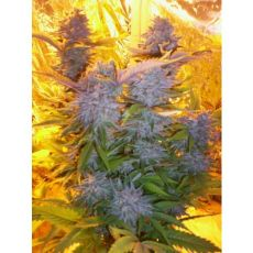 Blue Mammoth – 3ks autoflower semínka Barney´s Farms