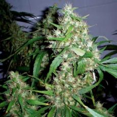 Critical Rapido – 3 autoflower semínka Barney´s Farms