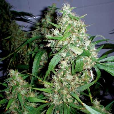 Critical Rapido – 3 autoflower semienka Barney Farms