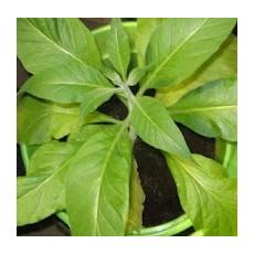 Tabak Walker 's Broad leaf (rastlina: Nicotiana tabacum) cca 25 semien